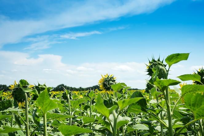 ひまわりの畑の風景。ひまわりは雨の多い雲の近くに閉じ込める