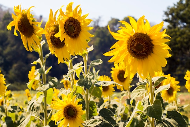 Sunflower field landscape in thailand . field of blooming flowers . bright of yellow .