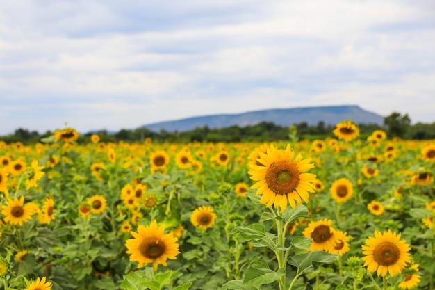 Sunflower field in lopburi, thailand