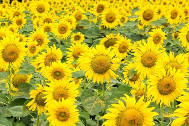 Сцена природы поля подсолнечника. подсолнухи полевой пейзаж