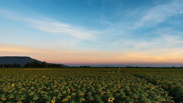 ひまわり畑の自然シーン。ひまわり。ひまわり畑の風景。ひまわりフィールドビュー