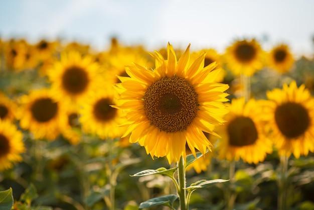 Поле подсолнечника. многочисленные золотистые подсолнухи, освещенные теплым солнечным светом сзади