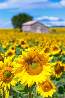曇りの青い空の向日葵畑