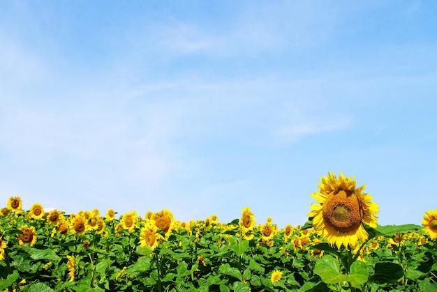 曇った青い空のひまわり畑