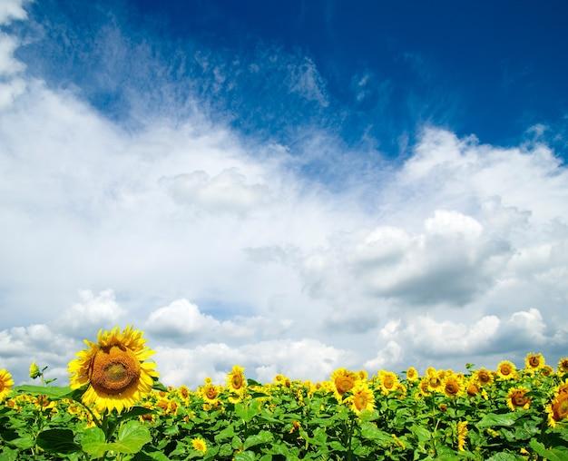흐린 푸른 하늘 위에 해바라기 밭