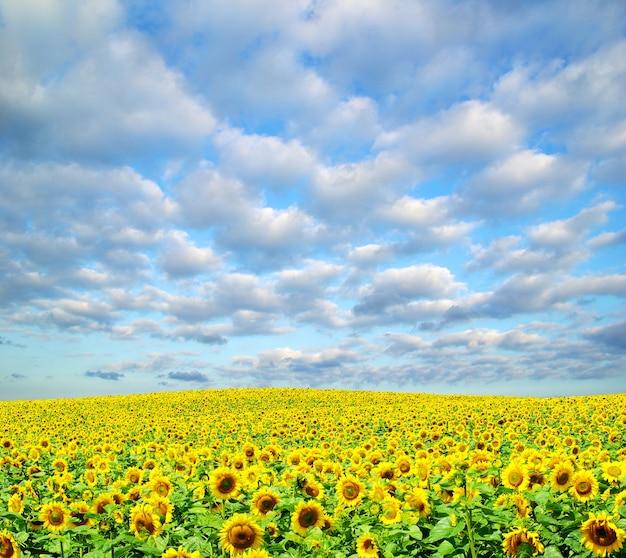 Поле подсолнечника над пасмурным голубым небом