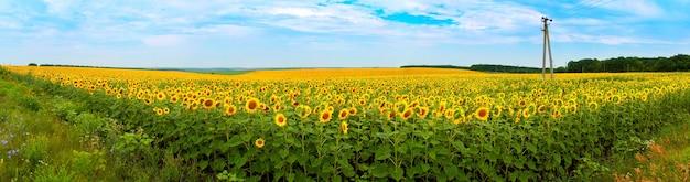 Панорама поля подсолнечника. природа пейзаж