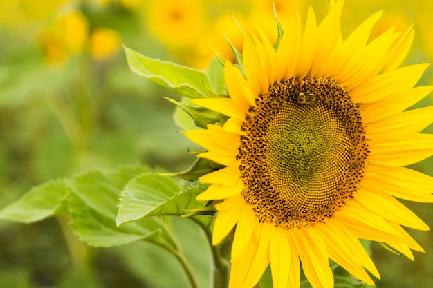 Sunflower field planted to seed for oil production.