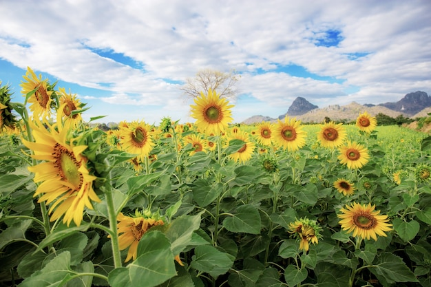 Sunflower on field at sky background.