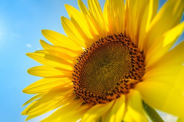 The sunflower on the field under summer sun