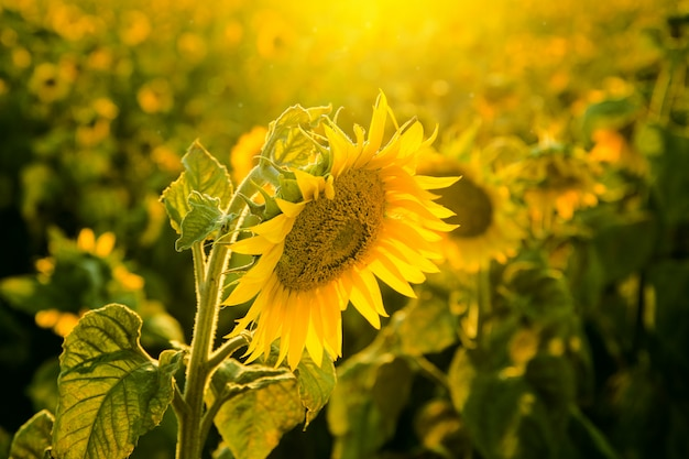 Sunflower field at sunset close up