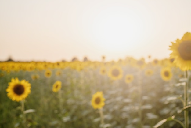 Sunflower field in sunset, nature background