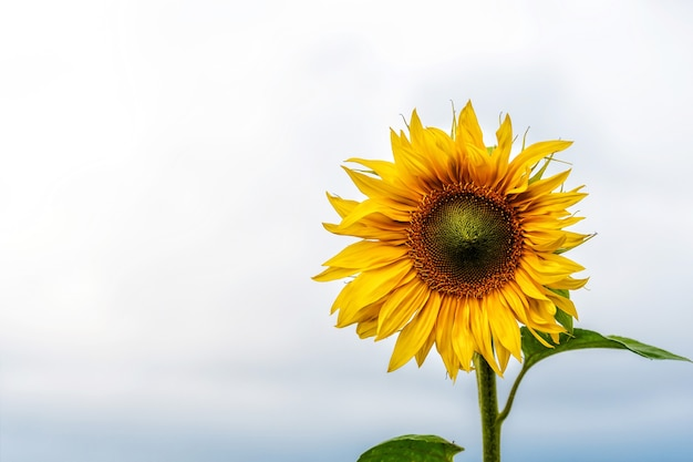 Sunflower field in sunshine, bright vibrant flower landscape in summer time, beautiful sun flower blossoms, many plants with lush leaves