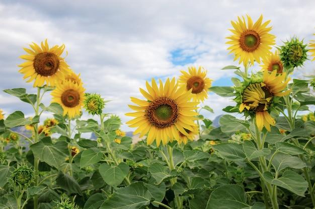 Sunflower on field in winter.