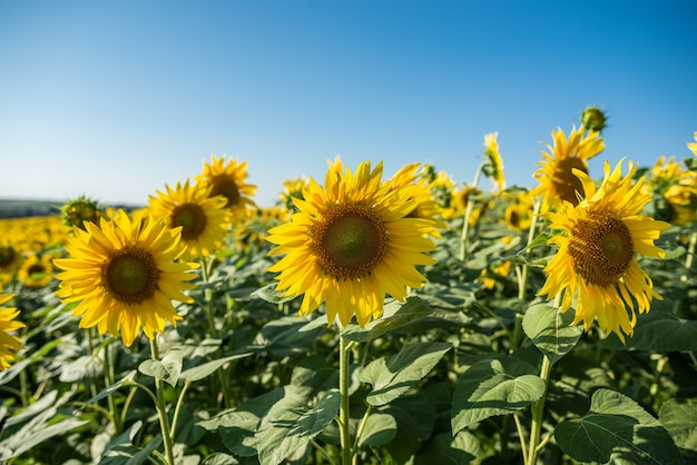 Sunflower field with beautiful yellow flowers on it close up