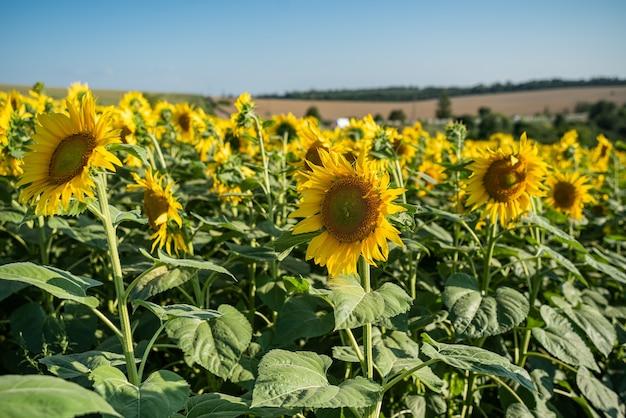 その上に美しい黄色の花が付いているひまわり畑をクローズアップ