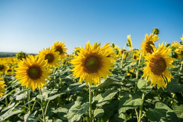 Поле подсолнечника с красивыми желтыми цветами на нем крупным планом