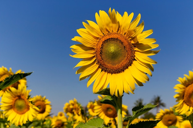 Sunflower field with the blue sky background