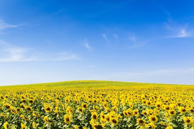 맑은 하늘 배경으로 해바라기 밭입니다.