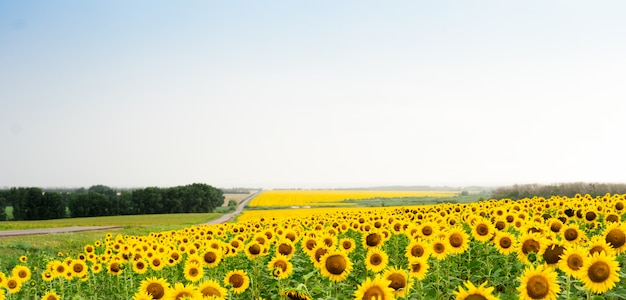 Sunflower field with a dirt road and green forest