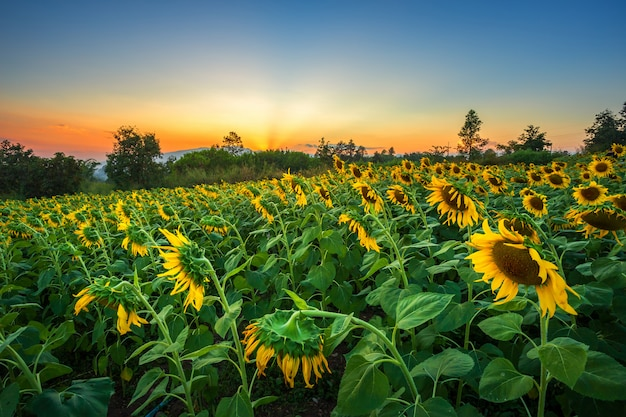 Sunflower fields in warm evening.