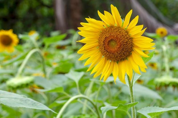 Sunflower in a fields