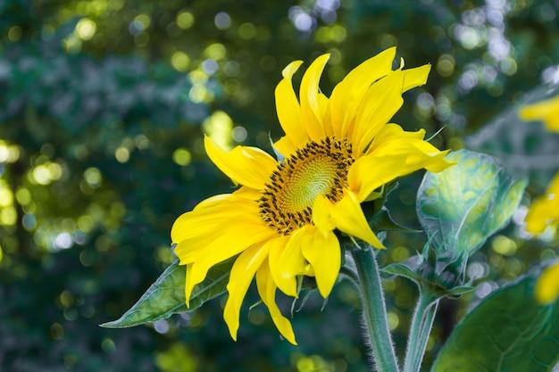有機栽培の家庭菜園で栽培されているひまわりの花
