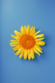 Цветок подсолнуха на синем.
