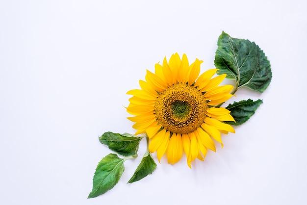 白い背景の上のひまわりの花。夏の背景