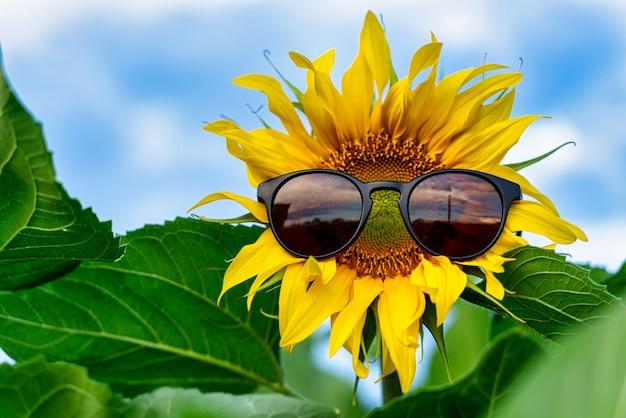Цветок подсолнечника с очками в поле выращивания подсолнечника