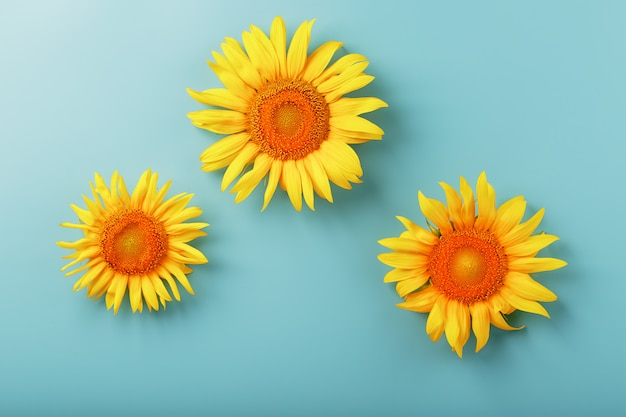 Sunflower flowers on blue