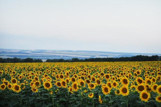 野原にひまわりの花