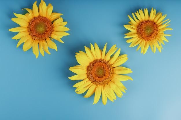 Цветы подсолнуха на синем