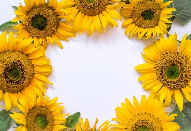 Цветы подсолнуха на белом фоне. летний фон с пространством для текста ..