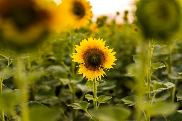 Sunflower in focus in a field