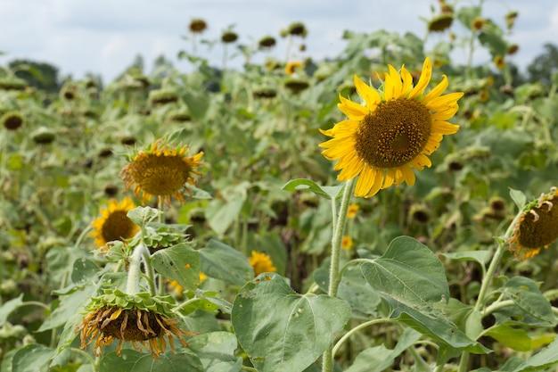 Sunflower in full bloom