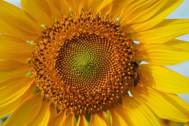 Sunflower in the garden. sunflower field.