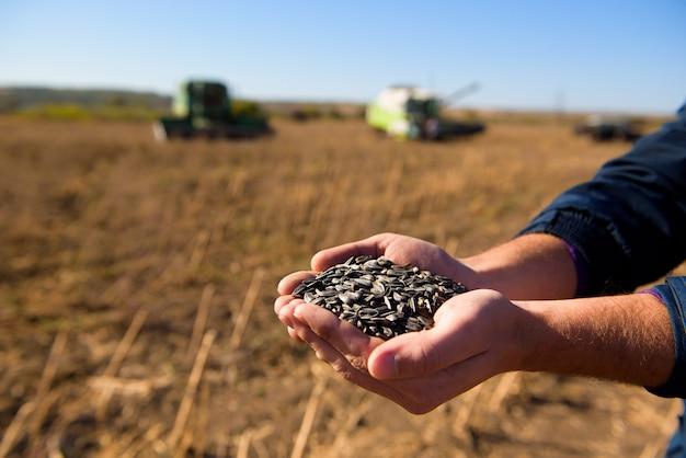 畑で収穫されたひまわりの粒。