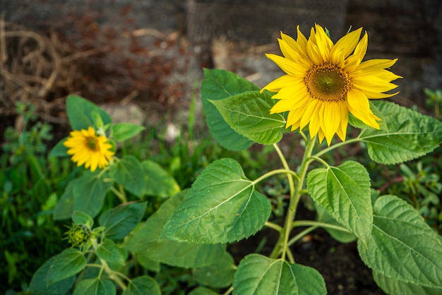 Sunflower grows in the field in spring time