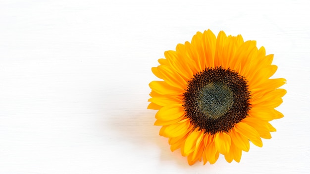 Sunflower head, fresh and vivid, on the white background closeup, isolated. sunflower head isolated for any design purposes.