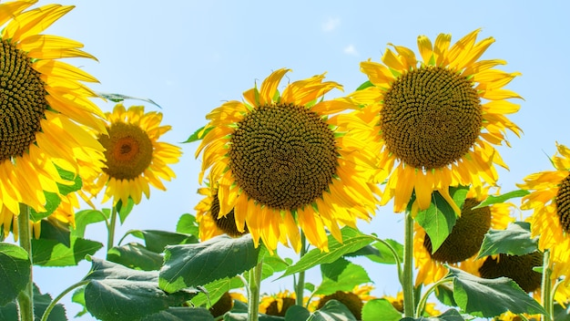 Sunflower heads on the blue sky