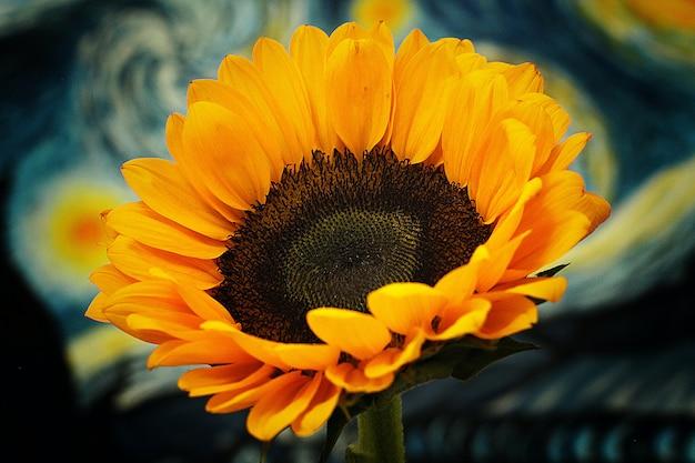 Sunflower-helianthus annuus in a big plan