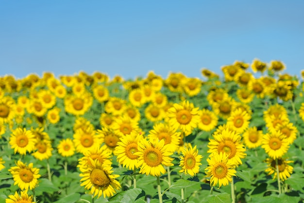 Sunflower (helianthus annuus). sunflower blooming in the middle of the sunflower