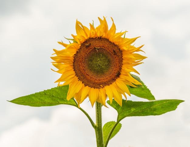 空を背景にヒマワリ(ヒマワリ)花