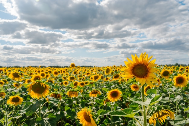 Подсолнечник в поле подсолнухов под голубым небом и красивыми облаками в сельскохозяйственном поле
