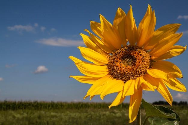 明るい晴れた日に空に向かって風にひまわり