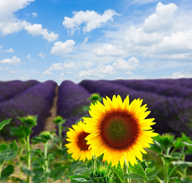Sunflower and lavender flowers field, provence, france