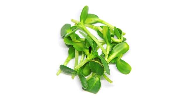 Микрозелень подсолнечника на белом фоне изолировать. выборочный фокус. природа.