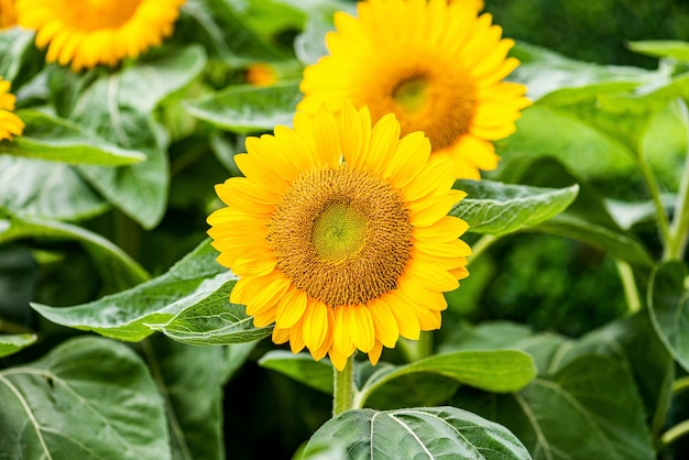 Sunflower natural background. close-up of sunflower.