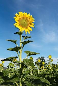 ひまわりの自然な背景。ひまわりが咲きます。ひまわりのクローズアップ。
